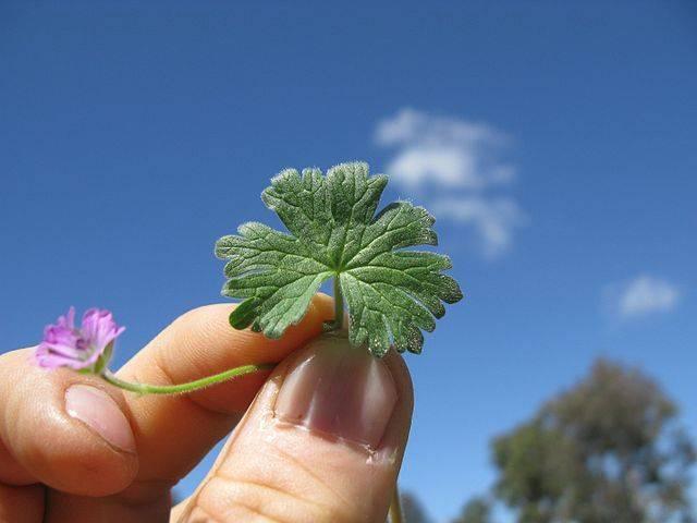 Листья герани. Эти цветы можно найти практически на любом садовом участке. Многие выращивают их дома.