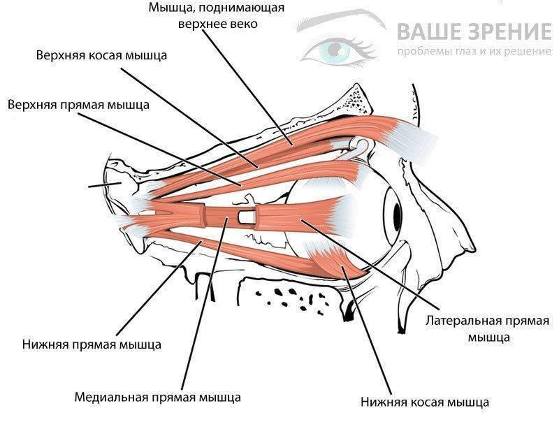 Строение мышц глаз
