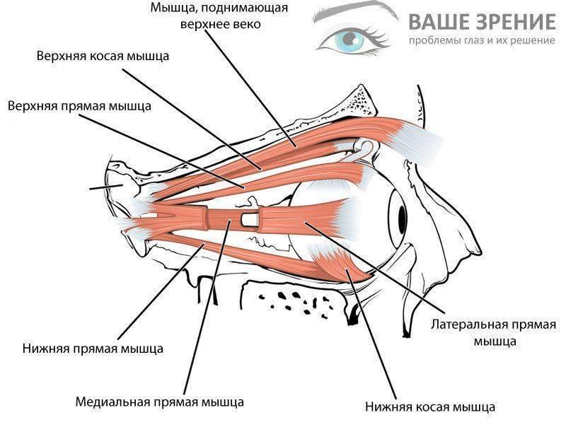 Строение глазных мышц